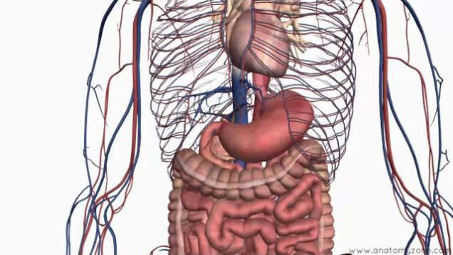 Abdomen and pelvis anatomy archive free medical videos introduction to the digestive system part 2 oesophagus and stomach 3d anatomy tutorial ccuart Image collections