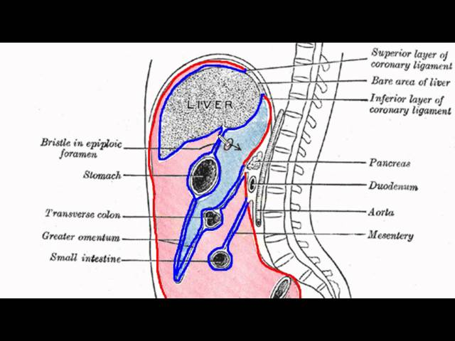 Peritoneal Cavity - Part 1 - Anatomy Tutorial