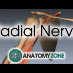 Radial Nerve | 3D Anatomy Tutorial