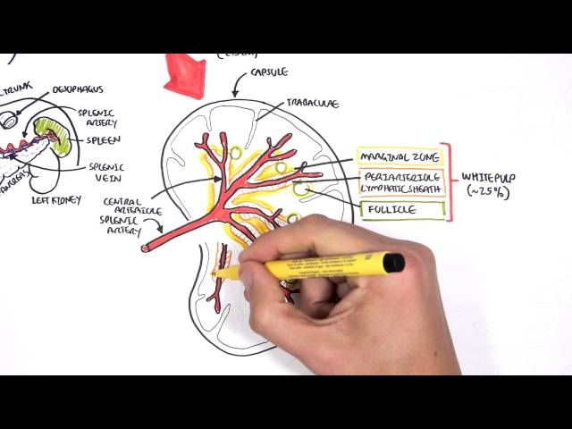 Spleen Anatomy and Physiology - Free Medical Videos