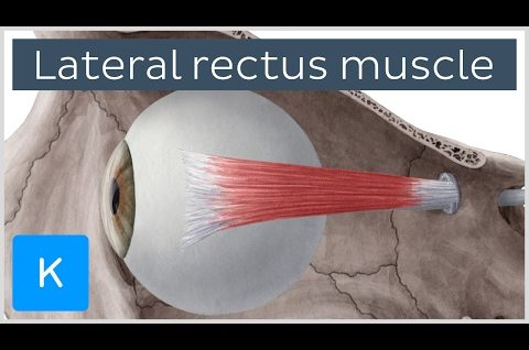 Lateral rectus muscle of the eye (musculus rectus lateralis bulbi) - Human Anatomy | Kenhub