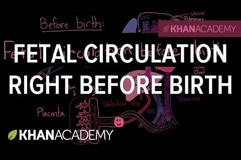 Fetal Blood Circulation BEFORE Birth