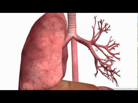 respiratory system procedures Abnormalities, which affect the pulmonary system and associated aspects of   respiratory care procedures, along with any rc staffing/productivity system.