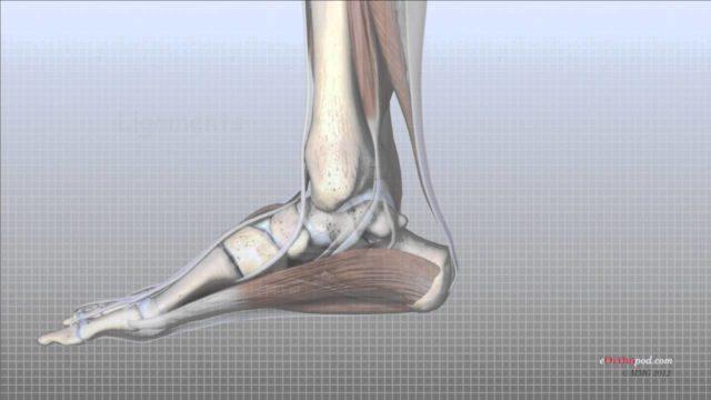 Foot Anatomy Animated Tutorial
