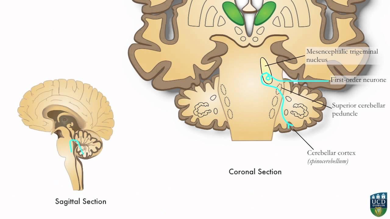 AXON: Trigeminocerebellar Pathway (Unconscious Proprioception) from Face (9 of9)