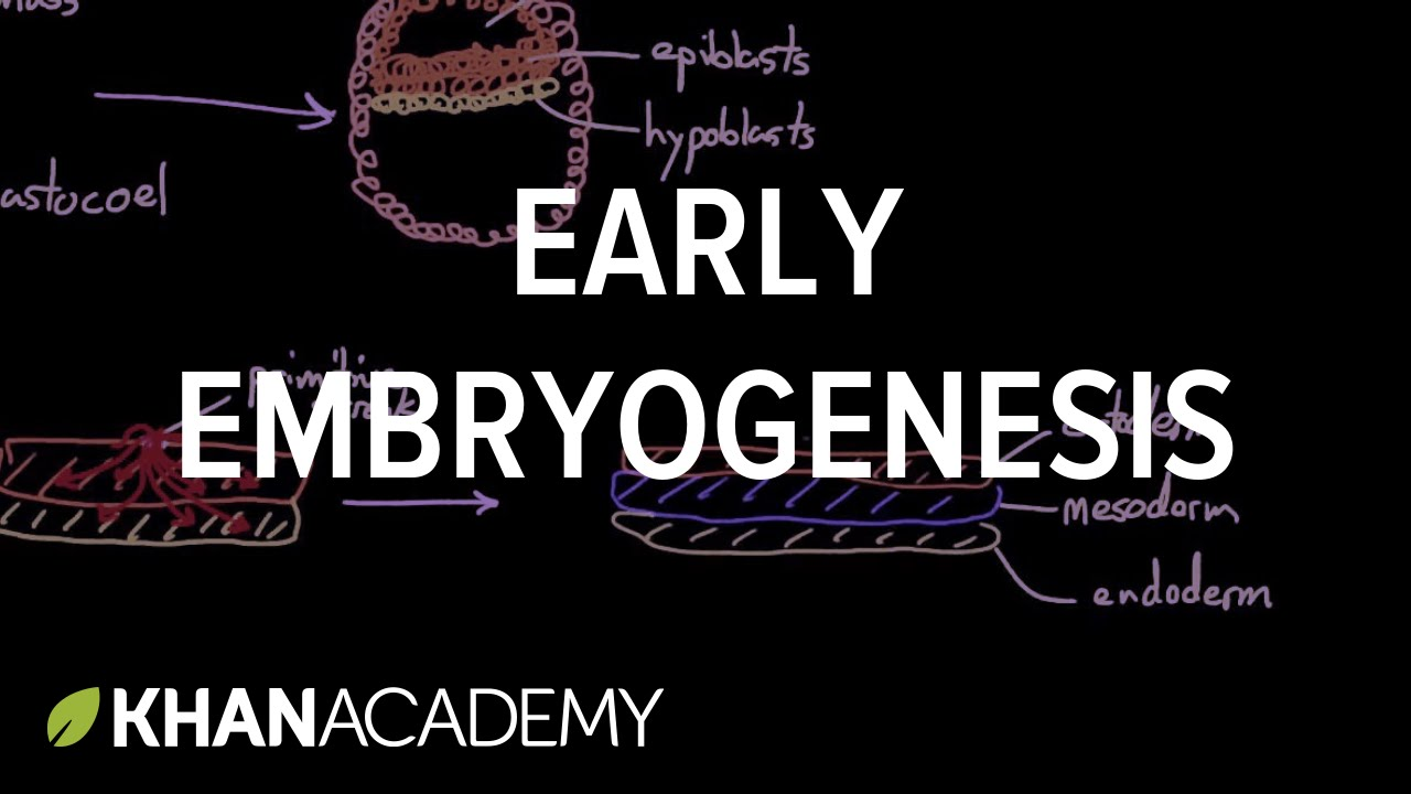 Early embryogenesis - Cleavage, blastulation, gastrulation, and neurulation | MCAT | Khan Academy