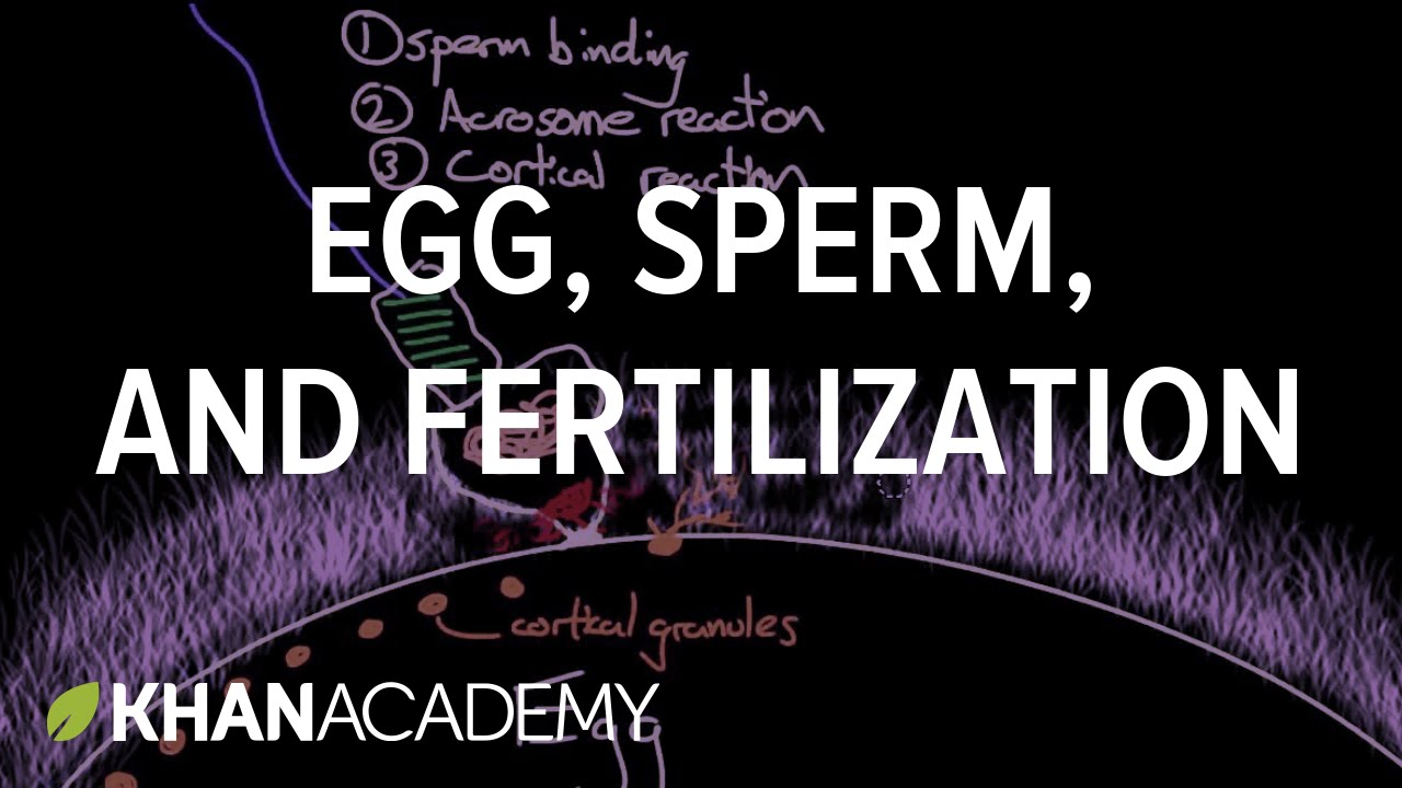 Egg, sperm, and fertilization | Behavior | MCAT | Khan Academy
