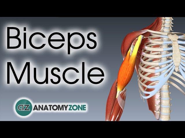 Biceps Brachii | Muscle Anatomy