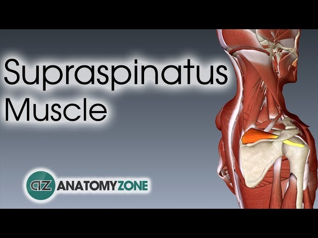 Supraspinatus | Muscle Anatomy